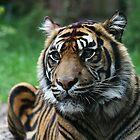 Sumatran Tiger by Wayne Gerard Trotman