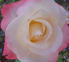 Rose in bloom by Leilane Kyne