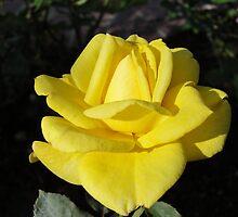 Yellow Rose in Bloom by Leilane Kyne