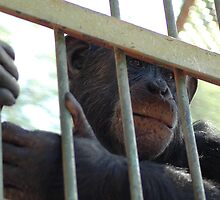 Chimp at zoo  by Stephen Colquitt