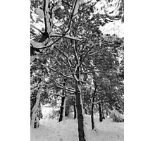 Close-up of pine leaves in snow.  Photographic Print