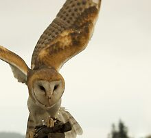 Barn Owl by Peter Costello