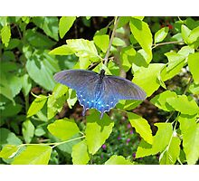 Blue Pipevine Butterfly Photographic Print