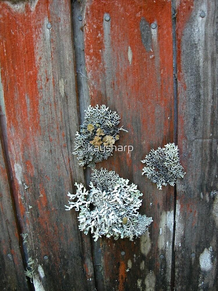 Lichen on Waldheim, Cradle Mountain, Tasmania, Australia. by kaysharp