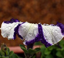 Wet Striped Petunia by Donna R. Carter