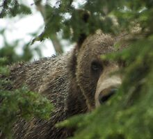 Grizzly Bear by Peter Costello