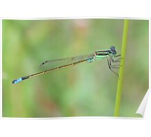 Blue-tailed Damselfly 1 Poster