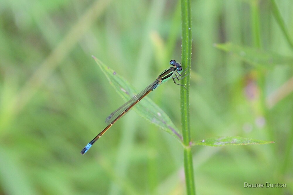 Blue-tailed Damselfly 2 by ©Dawne M. Dunton