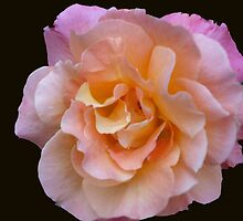 Peach and Pink Rose by Marie Brown ©