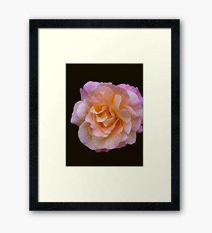Peach and Pink Rose Framed Print