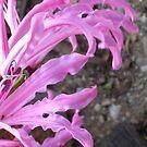pink wind by Nurgen ~~