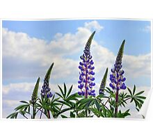 Leaning Lupins Poster