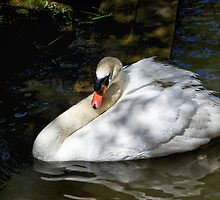 Mute Swan Resting In The Shadows 2 by Susie Peek