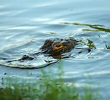 BABY GATOR by H & B Wildlife  Nature Photography