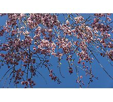 Pretty in Pink - a Flowering Cherry Tree and Blue Spring Sky Photographic Print