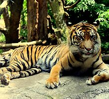 Sumatran Tiger  by Landscapes Mainly .