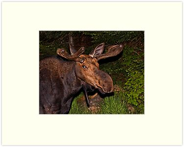 Eyes of the Night: Bull Moose by lloydsjourney