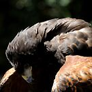 Harris Hawk by Anne Smyth