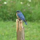 Mr. Blue Bird by Leslie  Lippert