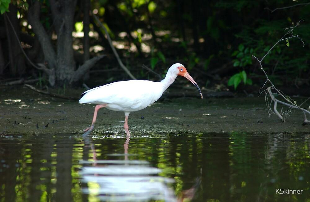 White Ibis Fishing by KSkinner