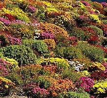 Mums Galore by BarbL