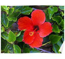 Hawaiin Hibiscus Poster