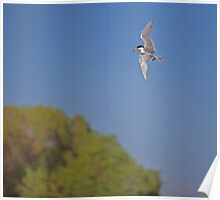 Forster's Tern Being Territorial Poster