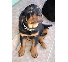 It Wasn't Me - Rottweiler Puppy Photographic Print