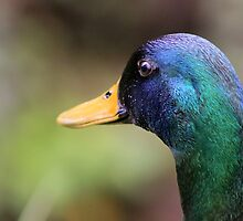 Magnificent Mallard by GreyFeatherPhot