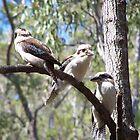 Kookaburra's, Mount Kootha by Eric Belcher