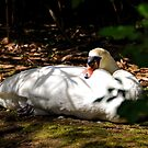 Shadowy Swan ............. by lynn carter