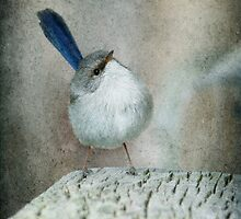 Superb Fairy Wren #2 by Barb Leopold