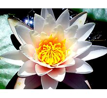 Lilly Pad Flower Photographic Print
