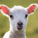 Cheeky Lamb by Christopher Cullen