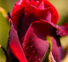 Red Rose by Geoff Carpenter