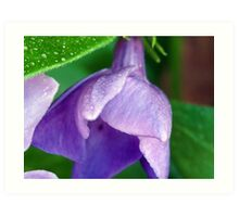 Blooming Morning Glory Art Print
