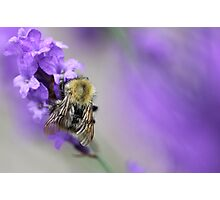 Bee on Lavender. Photographic Print