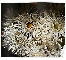 Australian Eucalyptus Flowers In Macro Poster