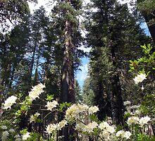 Mariposa Grove in Summer by Shaina Haynes