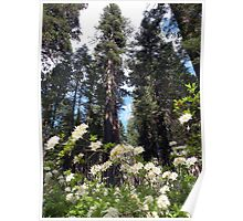 Mariposa Grove in Summer Poster