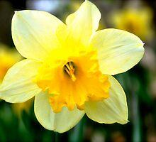 Spring Daffodil by TaraLayman