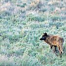 Lone Wolf, Lamar Valley of Yellowstone by A.M. Ruttle
