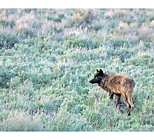 Lone Wolf, Lamar Valley of Yellowstone Photographic Print