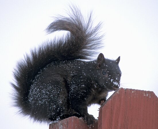 Snowy Black Squirrel  by Bill Spengler