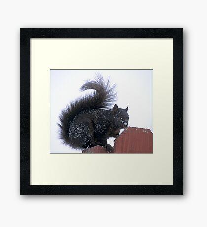 Snowy Black Squirrel  Framed Print