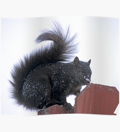 Snowy Black Squirrel  Poster