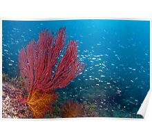 Soft Coral in the Sea of Cortez Poster