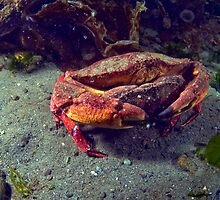 Mating Red Rock Crabs by Greg Amptman