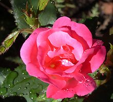 Pink Rose After Gentle Rain by mussermd