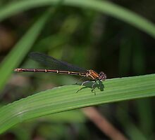 Dragon Fly by John Absher